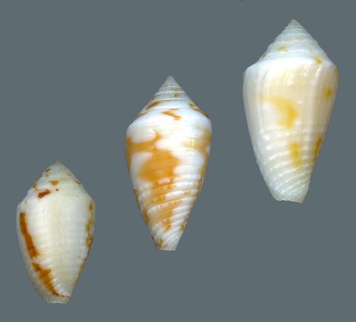 Conasprella (Ximeniconus) roatanensis (Petuch & Sargent, 2011) Roatanensispatterns