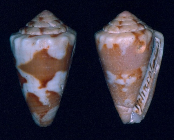 Conus (Dauciconus) sphacelatus   Sowerby I & II, 1833 Sphacelatus-holotype